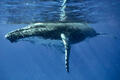 whale, whales, underwater, tonga, humpback, mother, blue