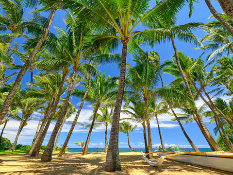 the classic Hawaii scene with large coconut palms looking out towards the ocean at Kuau Cove as seen from the famous Mama's Fish House on the island of Maui