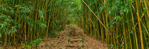 panorama of the bamboo forest path of the pipiwai trail in Haleakala National Park on the island of Maui.