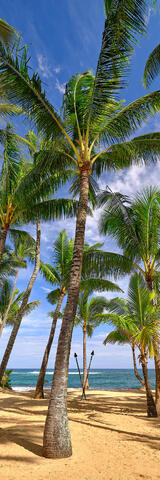 Coconut palm trees sway in the breeze at Kuau Cove behind Mama's Fish House on the island of Maui Hawaii.  Hawaii Fine Art Photography by Andrew Shoemaker