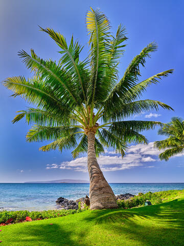 a perfect coconut palm tree extends out to the ocean near Wailea Beach on the island of Maui, Hawaii