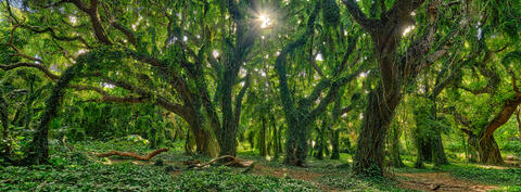 panoramic view of the enchanted forest at Honolua Bay on the island of Maui displays a lush green setting