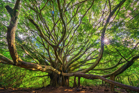 One of the most beautiful banyan trees in the world is found in Hana on the Pipiwai Trail.  This expansive tree resembles the tree of life.  Tree Photography