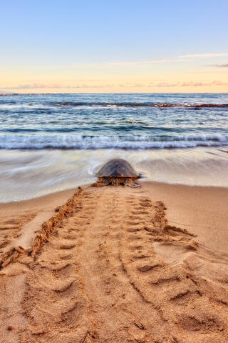 a lone hawaiian sea turtle (also known as Honu) head back out to the ocean at sunrise leaving behind unique turtle tracks on the beach