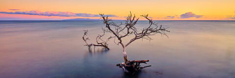 panoramic view a kiawe tree half submerged in the pacific near Olowalu on the island of Maui, Hawaii.  Fine art photograph by Andrew Shoemaker