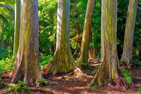 a grove of rainbow eucalyptus trees in Hana on the island of Maui.  Fine art photograph by Andrew Shoemaker