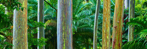 panoramic photograph of the incredibly colorful rainbow eucalyptus trees along the road to Hana on the island of Maui