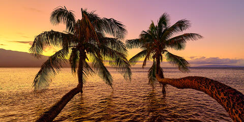 two bent palms reach out over the ocean at sunrise at Maalea on the island of Maui