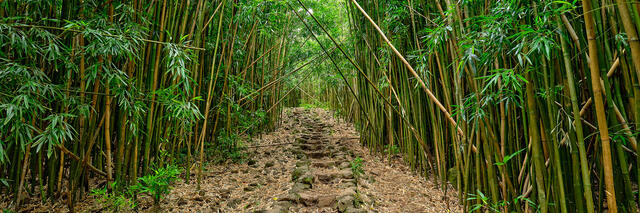 bamboo, hana, hawaii, maui, path, pipiwai trail, pipiwai, haleakala national park, green, panoramic, panorama