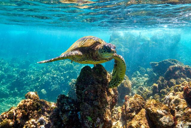 underwater angle of a honu or hawaiian green sea turtle on the island of Maui