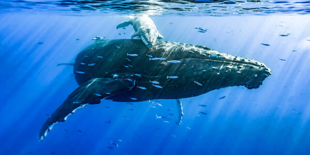 panorama underwater mother and calf humpback whale encounter and my very first time seeing whales underwater