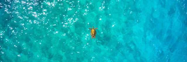 A lone sea turtle floating in amazing emerald colored Maui water