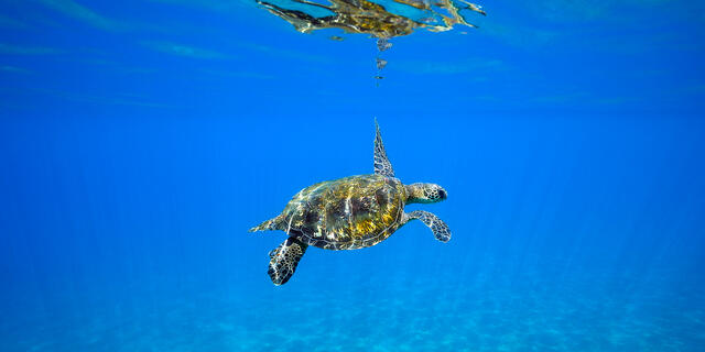 panorama of an underwater sea turtle in crystal clear blue water photographed on Maui