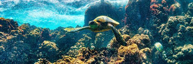 A Hawaiian Honu (green sea turtle) swims off the coast of maui in this panoramic photograph by Hawaiian artist Andrew Shoemaker