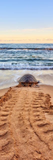 a hawaiian green sea turtle heads out to the ocean at sunrise on the north shore of Maui, Hawaii.  Hawaii Fine Art photography by Andrew Shoemaker