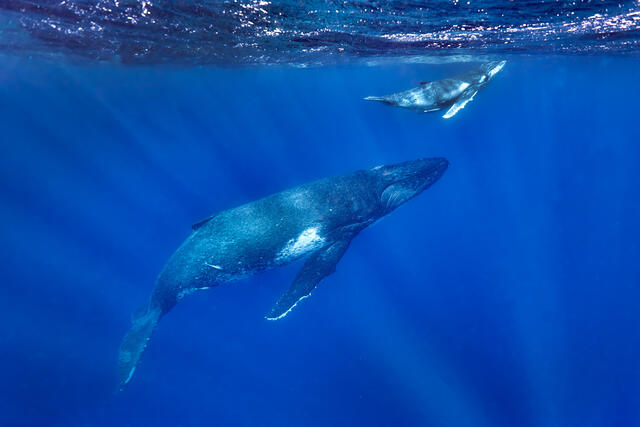 underwater view swimming with a mother and calf humpback whale with sun rays beaming through the ocean