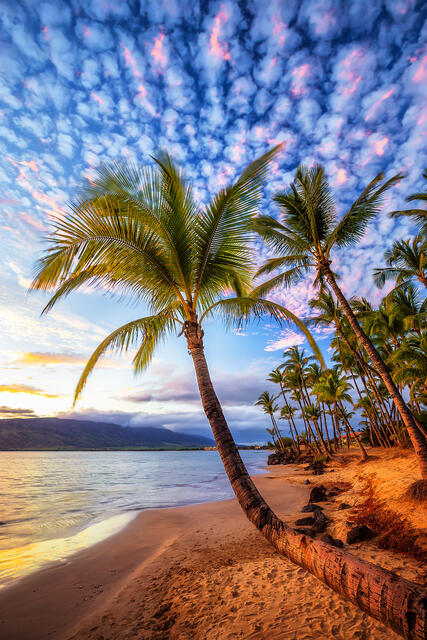 bent coconut palm tree on the beach reaching out towards the ocean in Kihei, Hawaii during a beautiful sunset