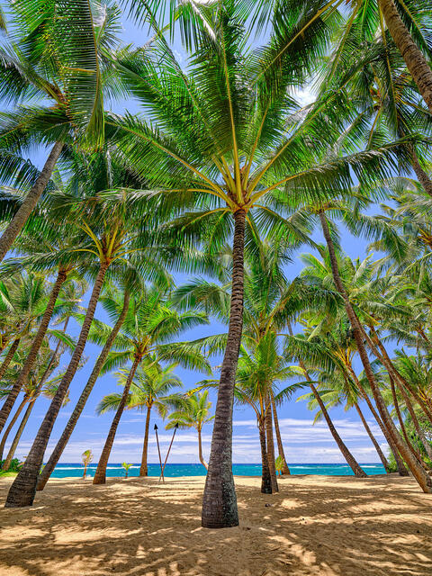 beautiful towering coconut palms and blue sky at Kuau Cove behind Mama's Fish House on Maui