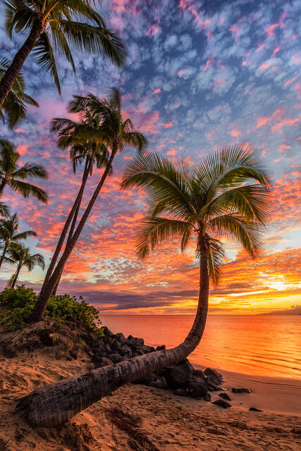 a bent palm tree grows out towards the ocean in Kihei, Maui as a vibrant sunset is captured with amazing orange and red tones.  Photographed by Hawaii artist An