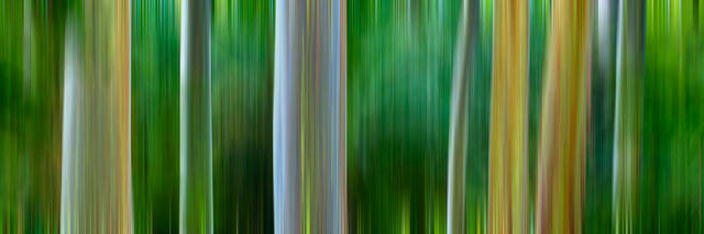 abstract panoramic image showcasing in camera movement of rainbow eucalyptus trees near Hana on the island of Maui