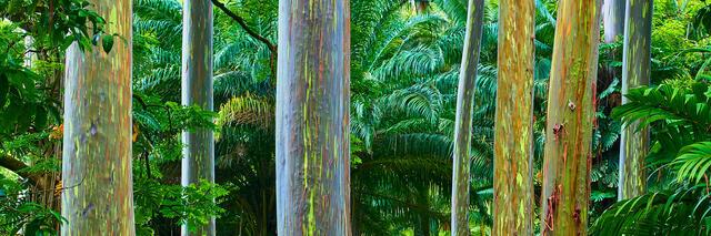 panoramic photograph of the incredibly colorful rainbow eucalyptus trees along the road to Hana on the island of Maui