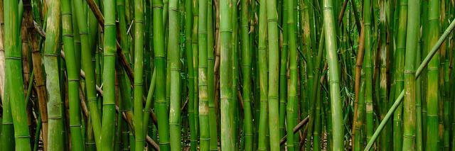 panorama of a bamboo grove near Hana on the island of Maui located in Haleakala National Park along the the Pipiwai Trail