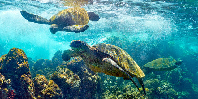underwater panoramic photograph of green hawaiian sea turtles also known as Honu.  Captured by fine art photographer Andrew Shoemaker