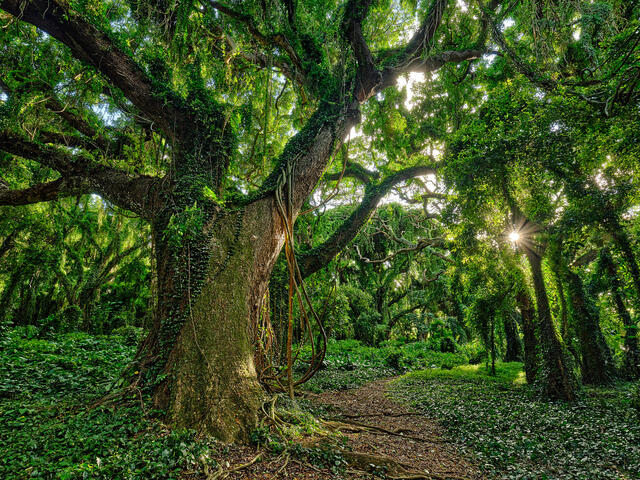 tree and path in the enchanted forest of Honolua Bay on the island of Maui