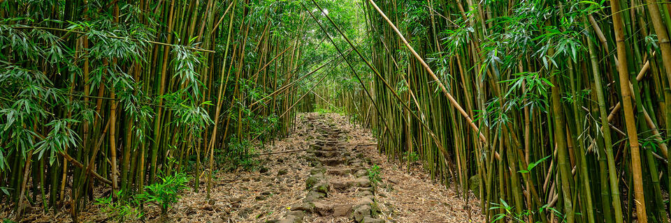 bamboo, hana, hawaii, maui, path, pipiwai trail, pipiwai, haleakala national park, green, panoramic, panorama