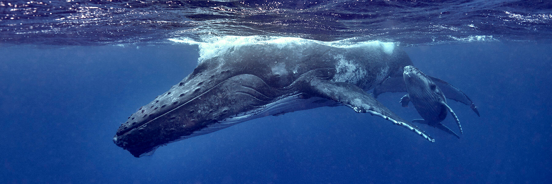 underwater photograph of a mother and calf humpback whale.  Photographed by Andrew Shoemaker