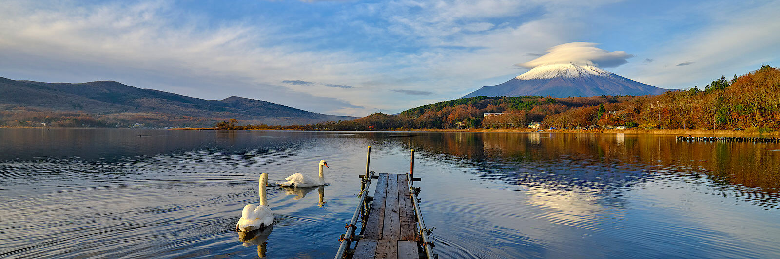 panoramic scene of Lake Yamanaka with several swans at sunrise and Mount Fuji rising in the background with lenticular clouds around it in Japan