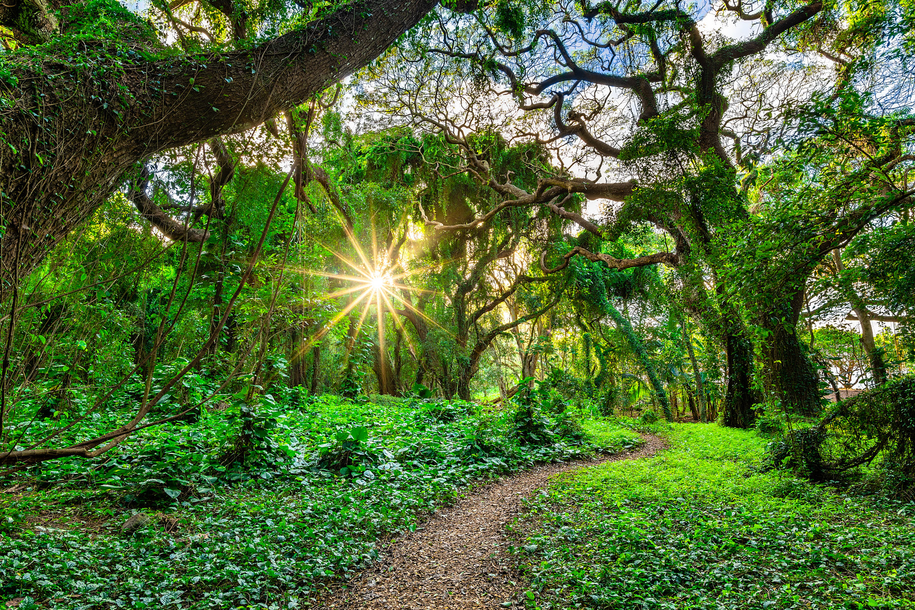 a beautiful forest scene at the lush Honolua Bay is accented by a path and a sun star peeking through the tropical foliage