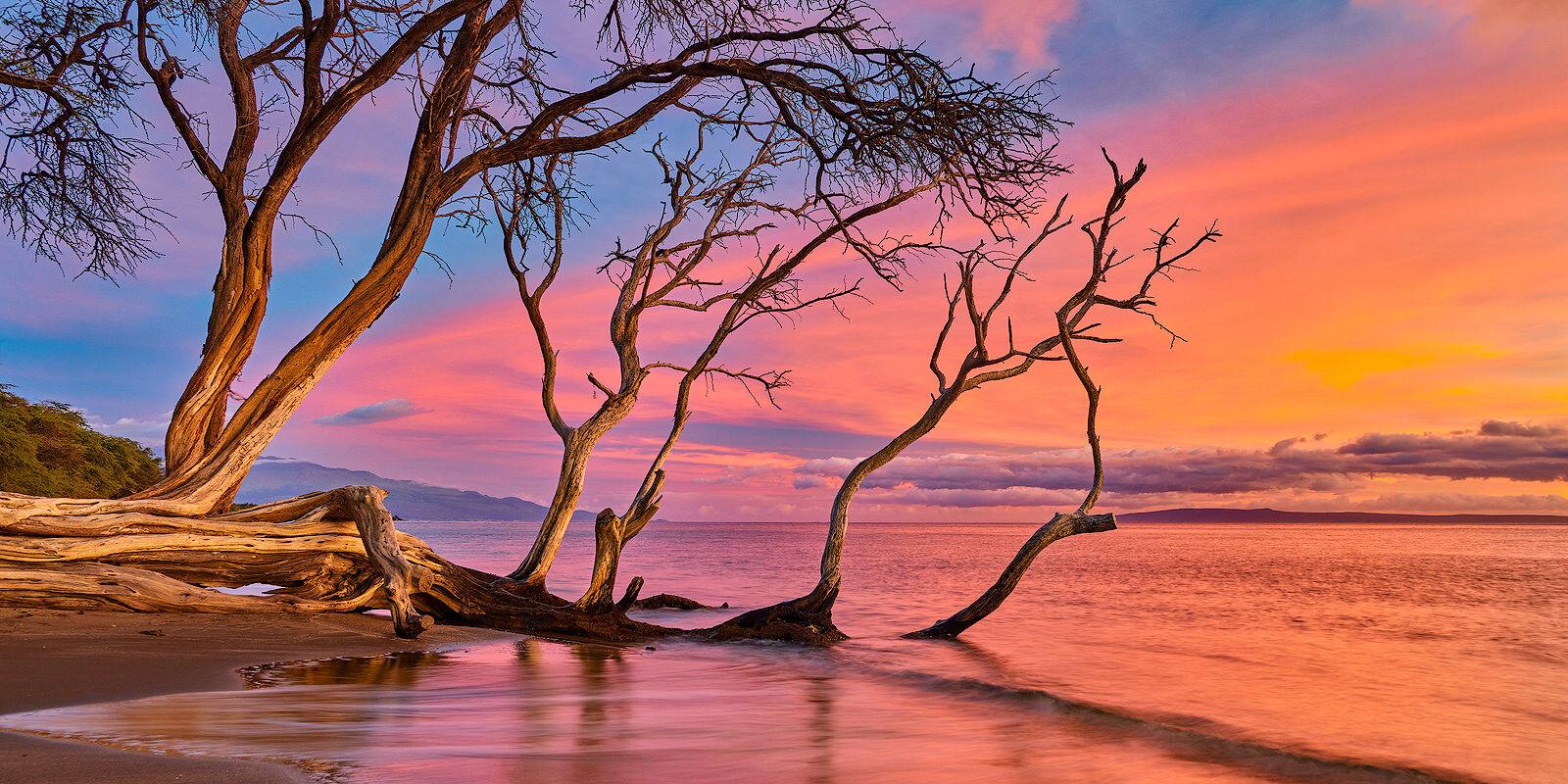 keawe tree along the coastline of Olowalu at sunset