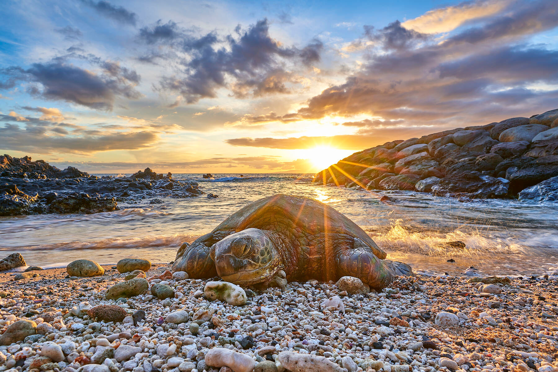 turtle, turtles, honu, honus, sunset, kihei, photo