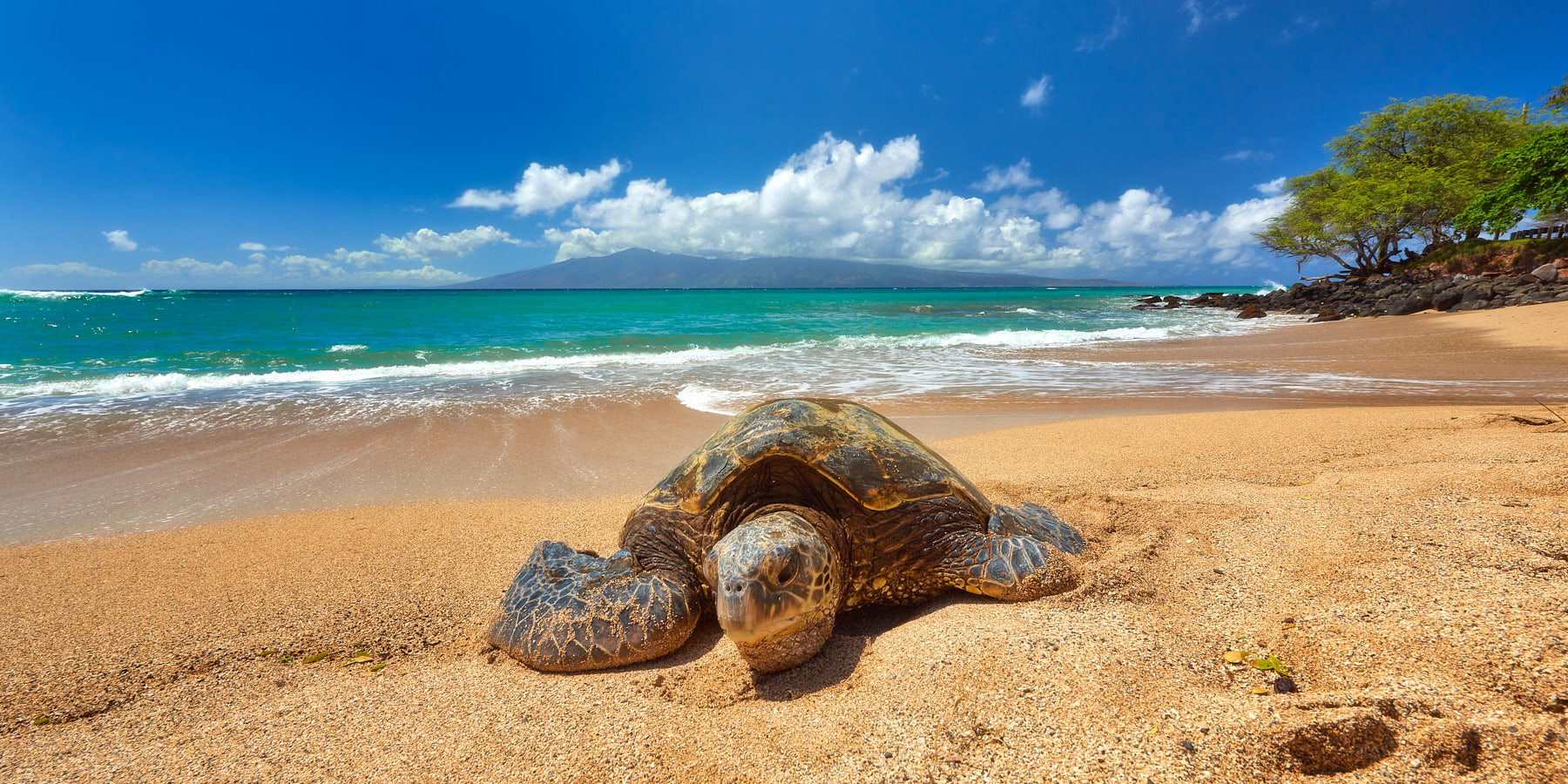 a lone hawaiian sea turtle relaxing on the beach during the day with the island of Lanai in the background