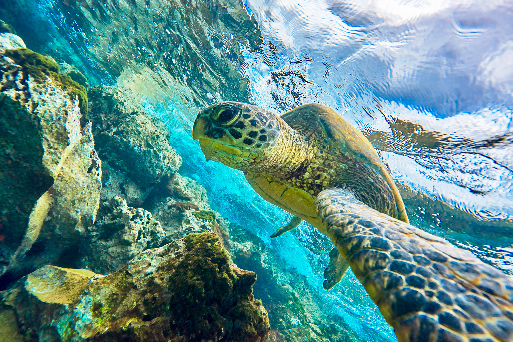 underwater photograph of a turtle (also known as honu in Hawaiian) and the angle appears as if the turtle is taking a selfie