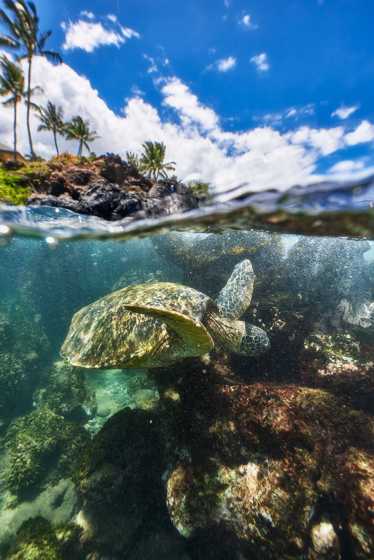 a split shot of an underwater Hawaiian Green Sea Turtle with palm trees above in Makena Maui