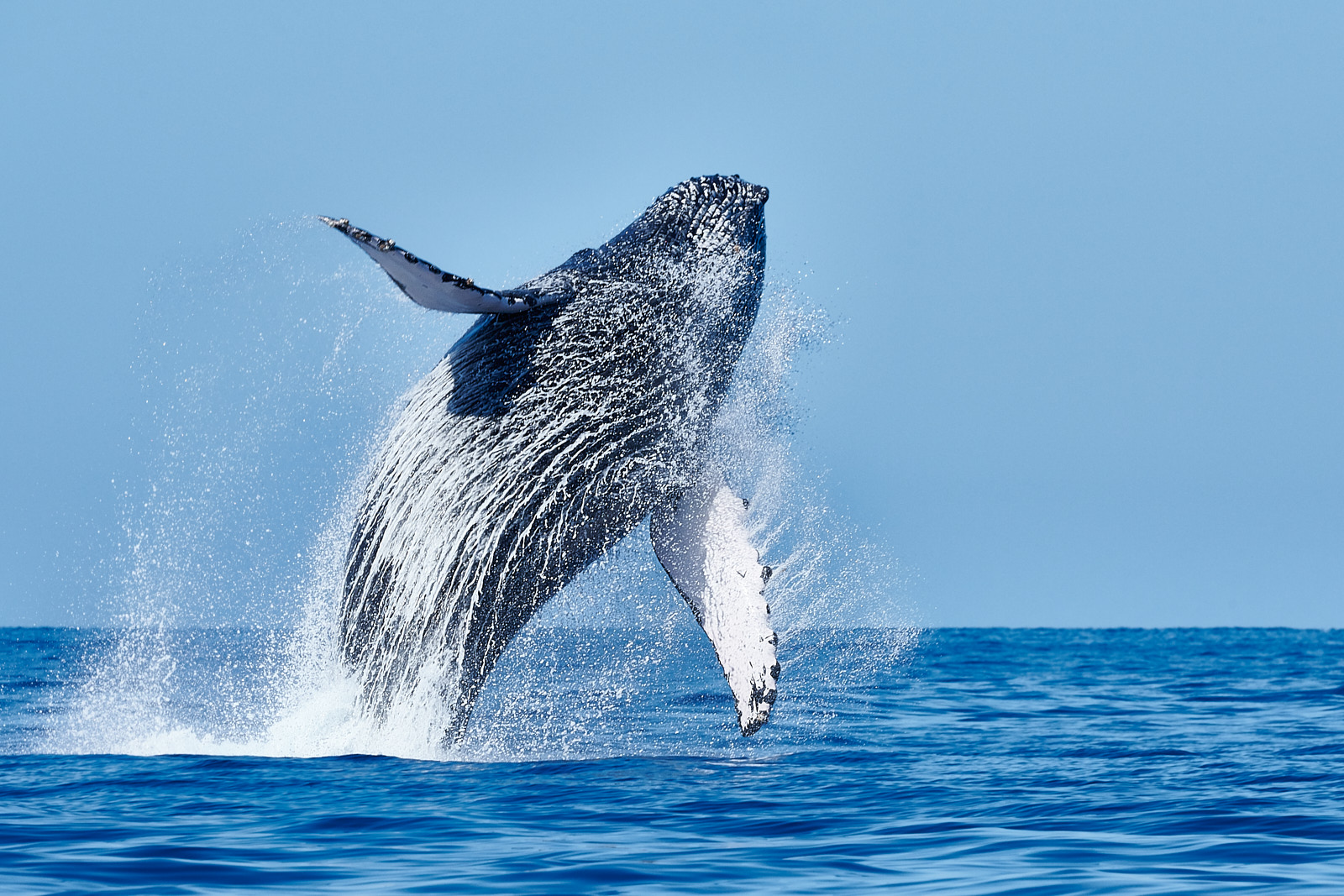 A humpback whale breaching out of the pacific ocean on the island of Maui