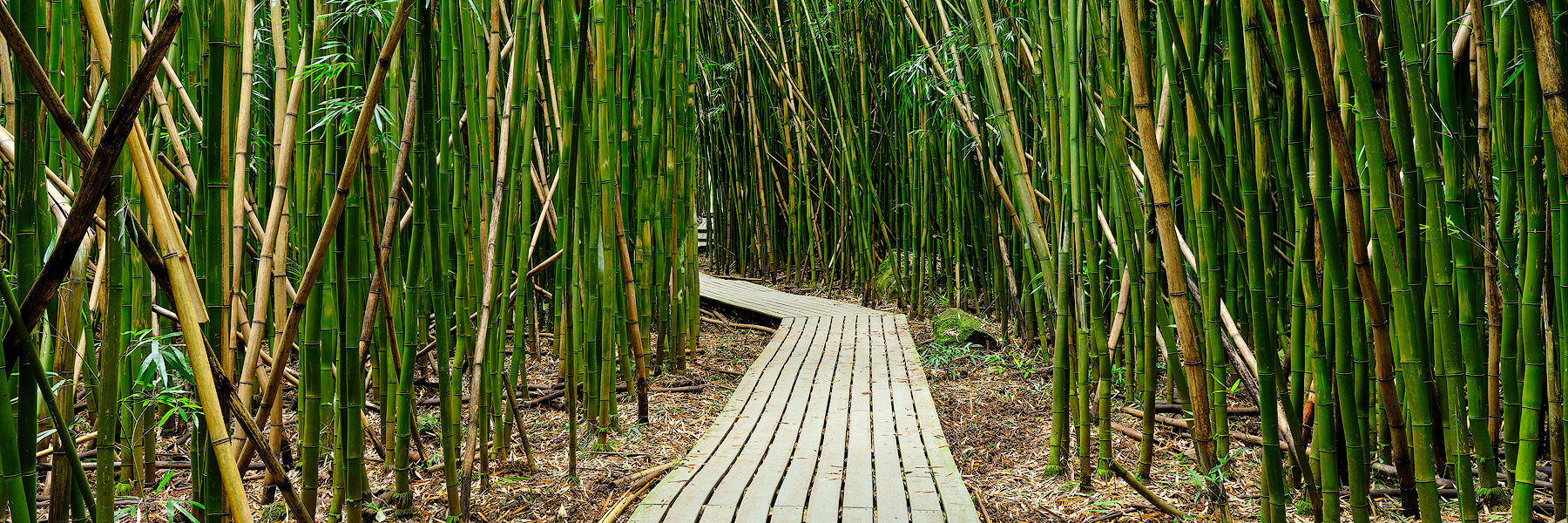 panoramic photograph of a descending path through a lush bamboo forest on the Pipiwai Trail in Hana Hawaii.  Photographed by Andrew Shoemaker