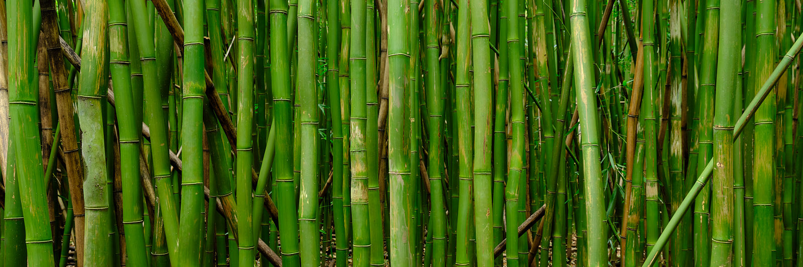 panorama of a bamboo grove near Hana on the island of Maui located in Haleakala National Park along the the Pipiwai Trail