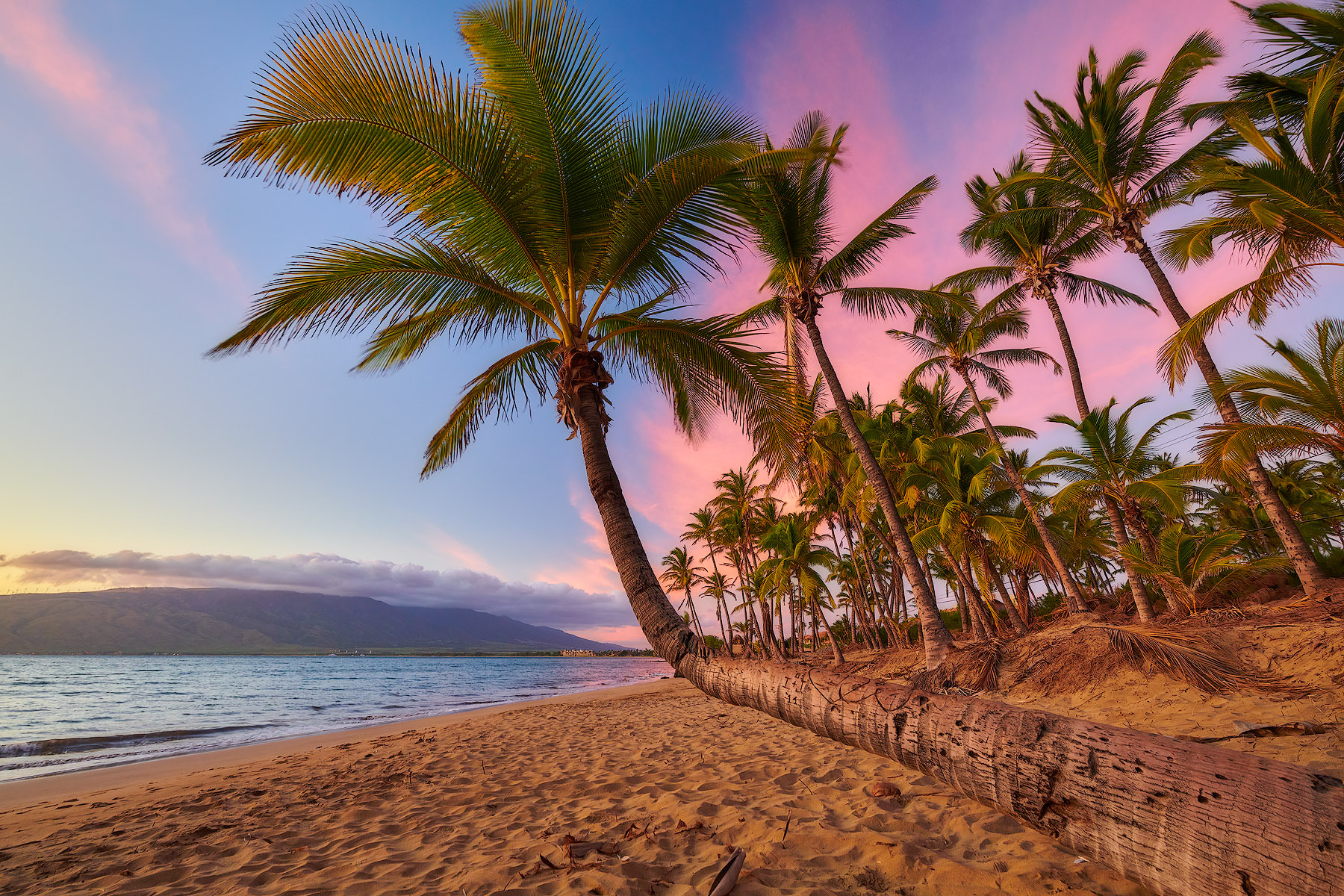 a bent palm tree at sunset in Kihei, Hawaii on the island of Maui.  Beautiful pink and blue colors illuminate the sky.  Hawaii Photography by Andrew Shoemaker