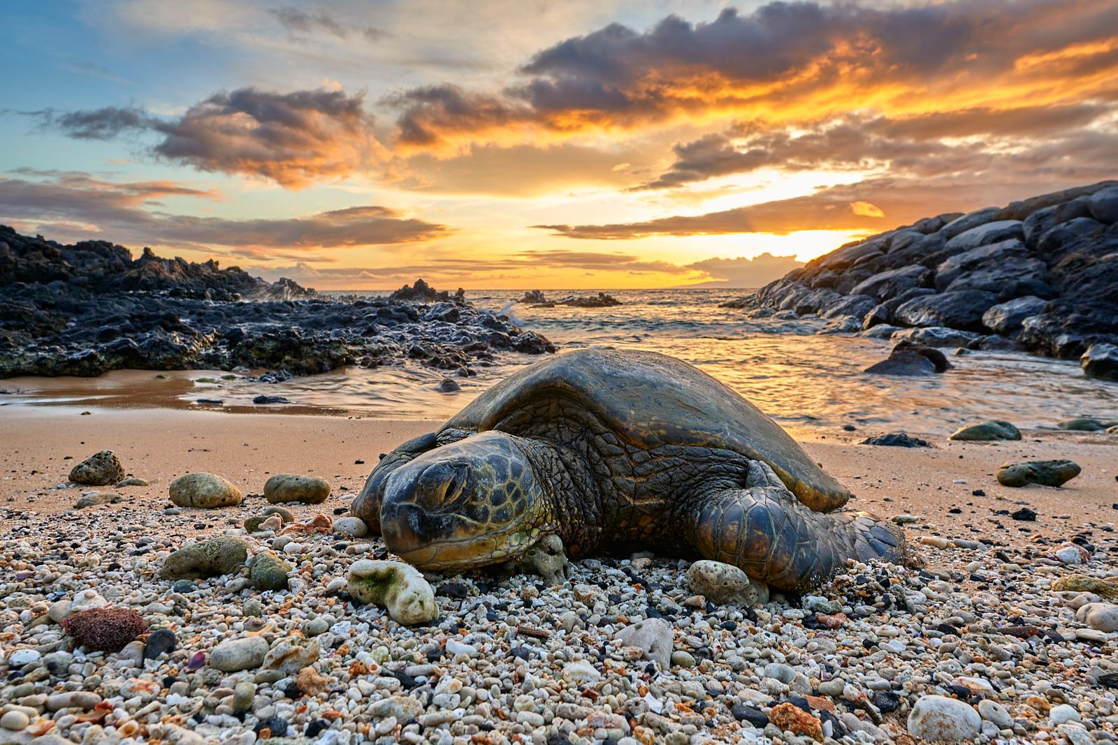 a Hawaiian sea turtle basks on a warm coral beach in Kihei, Hawaii