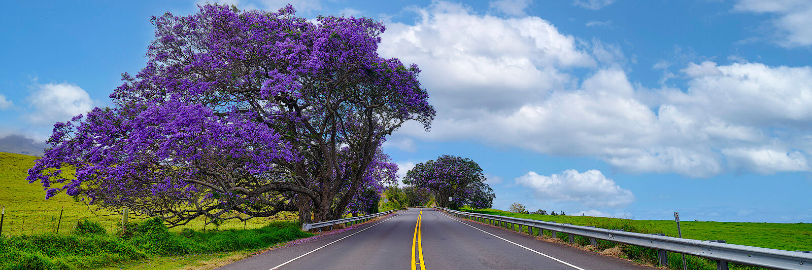 panoramic view of jacaranada trees along side of a two lane highway in upcountry on the Hawaiian island of Maui.